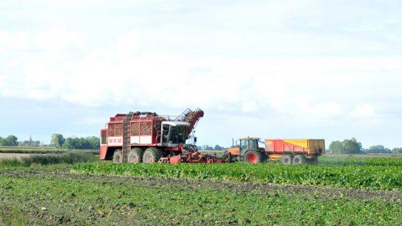 Landbouw activiteiten bij de suikerbieten oogst, suikerbieten worden ingeladen.