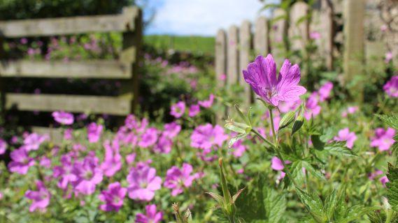 Sfeerbeeld van paarse bloemen in een tuin.