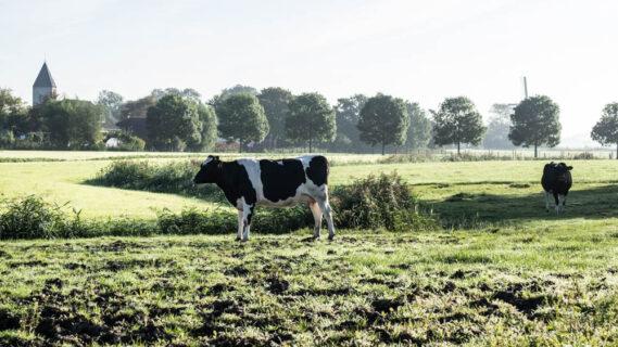 Decoratieve afbeelding van een koe in de wei in Westerwijtwerd